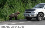 Купить «Бурый медведь попрошайка на дороге», видеоролик № 28943046, снято 4 августа 2018 г. (c) А. А. Пирагис / Фотобанк Лори