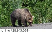 Купить «Прикормленный людьми камчатский бурый медведь ест пирожок на дороге», видеоролик № 28943054, снято 4 августа 2018 г. (c) А. А. Пирагис / Фотобанк Лори