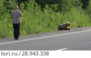 Купить «Мужчина подходит к бурому медведю на опасное расстояние», видеоролик № 28943338, снято 4 августа 2018 г. (c) А. А. Пирагис / Фотобанк Лори