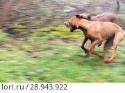Купить «Berlin, Germany, playing dogs», фото № 28943922, снято 17 ноября 2016 г. (c) Caro Photoagency / Фотобанк Лори