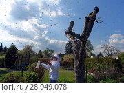 Купить «03.05.2016, Berlin, swarm of bees in the air in a small garden in Bukow, beekeeper admires this natural spectacle», фото № 28949078, снято 3 мая 2016 г. (c) Caro Photoagency / Фотобанк Лори
