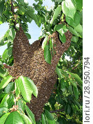 Купить «Berlin, Germany - Bee swarm hangs as a grape in a cherry tree», фото № 28950794, снято 22 мая 2016 г. (c) Caro Photoagency / Фотобанк Лори