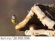 Купить «New Kaetwin, Germany - Great tit sitting in winter on a Vogelhaeuschen», фото № 28950998, снято 22 января 2017 г. (c) Caro Photoagency / Фотобанк Лори