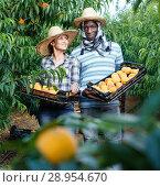 Купить «Couple of successful farmers holding plastic boxes with ripe peaches», фото № 28954670, снято 12 июля 2018 г. (c) Яков Филимонов / Фотобанк Лори