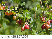 Купить «Ripe red gooseberry berries on a branches on a sunny summer day», фото № 28957306, снято 28 июля 2018 г. (c) Виктория Катьянова / Фотобанк Лори