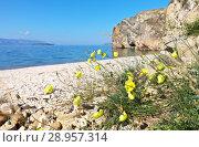 Купить «Lake Baikal. The coast of the Olkhon Island in summer. Yellow poppy flowers. This protected species Papaver popovii Sipliv is endemic of the Baikal region, is listed in the Red Data Book of Buryatia», фото № 28957314, снято 8 августа 2018 г. (c) Виктория Катьянова / Фотобанк Лори