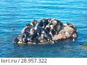 Купить «Lake Baikal. The colony of the wild Baikal seal is heated on a stone among the blue waters not far from Ushkany Island on a sunny summer day», фото № 28957322, снято 18 августа 2011 г. (c) Виктория Катьянова / Фотобанк Лори