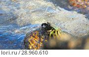 Купить «Crab on the rock at the beach», видеоролик № 28960610, снято 10 августа 2018 г. (c) Игорь Жоров / Фотобанк Лори