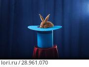rabbit in hat on blue background. Стоковое фото, фотограф Майя Крученкова / Фотобанк Лори