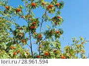 Купить «Ветви с гроздьями спелой рябины на фоне голубого неба в солнечный день», фото № 28961594, снято 11 августа 2018 г. (c) Екатерина Овсянникова / Фотобанк Лори