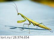 Купить «Богомол жёлто-зелённого цвета», эксклюзивное фото № 28974654, снято 10 августа 2018 г. (c) Игорь Низов / Фотобанк Лори