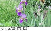 Купить «Blooming Iris or Kasatik», видеоролик № 28978126, снято 6 июня 2018 г. (c) Потийко Сергей / Фотобанк Лори