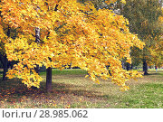 Купить «Autumn in Moscow. Orange maples on the steet park.», фото № 28985062, снято 8 октября 2017 г. (c) Георгий Дзюра / Фотобанк Лори