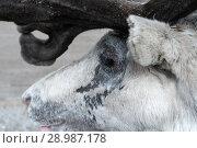 Купить «Портрет северного оленя», фото № 28987178, снято 29 мая 2018 г. (c) А. А. Пирагис / Фотобанк Лори