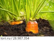 Купить «Свежая морковь на грядке», фото № 28987354, снято 24 августа 2018 г. (c) Наталия Кузнецова / Фотобанк Лори