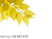Купить «Yellow autumn birch leaves on a white background as a blank for a postcard design», фото № 28987670, снято 29 октября 2017 г. (c) Олег Белов / Фотобанк Лори