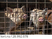 Two pigs in a cage. Стоковое фото, фотограф Юлия Кузнецова / Фотобанк Лори