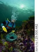 Купить «Professional diver capturing sea urchins. Purple sea urchin. Black sea urchin (Paracentrotus lividus). Eastern Atlantic. Galicia. Spain. Europe.», фото № 29000442, снято 12 июля 2013 г. (c) age Fotostock / Фотобанк Лори