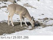 Купить «White-tailed deer / Weisswedelhirsch ( Odocoileus virginianus ) in winter, feeding on grass, Yellowstone area, USA.», фото № 29001286, снято 30 января 2017 г. (c) age Fotostock / Фотобанк Лори