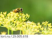 Купить «Пчела собирает нектар на жёлтых цветках укропа», эксклюзивное фото № 29005618, снято 9 июля 2018 г. (c) Игорь Низов / Фотобанк Лори