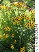 Купить «Black-eyed Susan (Rudbeckia hirta)», фото № 29005674, снято 23 августа 2018 г. (c) Марина Володько / Фотобанк Лори