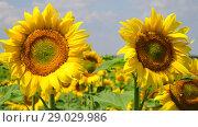 Купить «Sunflower flowers on sunny day», видеоролик № 29029986, снято 13 июля 2018 г. (c) Володина Ольга / Фотобанк Лори