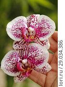 Купить «Orchid. Phalaenopsis.», фото № 29034386, снято 21 июля 2018 г. (c) easy Fotostock / Фотобанк Лори