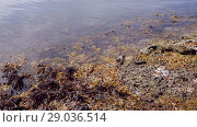 Купить «Liloral zone at low tide. Brown alga in the surf zone», видеоролик № 29036514, снято 1 сентября 2018 г. (c) Некрасов Андрей / Фотобанк Лори