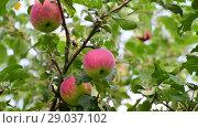 Купить «apples on tree in the garden», видеоролик № 29037102, снято 14 августа 2018 г. (c) Володина Ольга / Фотобанк Лори