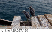 Купить «Two fledgling herons stand next to nest on wooden pier against the backdrop of the sea. Arabian Reef-egret or Western Reef Heron (Egretta gularis schistacea)», видеоролик № 29037130, снято 1 сентября 2018 г. (c) Некрасов Андрей / Фотобанк Лори