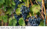 Купить «Vineyard with dark blue grape», видеоролик № 29037454, снято 1 сентября 2018 г. (c) Илья Шаматура / Фотобанк Лори