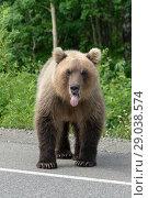 Купить «Большой бурый медведь стоит на асфальтированной дороге», фото № 29038574, снято 30 июля 2018 г. (c) А. А. Пирагис / Фотобанк Лори