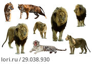 Купить «Set of lions and tigres. Isolated on white», фото № 29038930, снято 14 ноября 2018 г. (c) Яков Филимонов / Фотобанк Лори