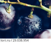 Купить «dark grape with water drops close up», фото № 29038954, снято 24 августа 2018 г. (c) Ольга Сергеева / Фотобанк Лори