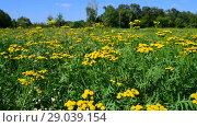 Купить «Yellow tansy on meadow swaying in the wind», видеоролик № 29039154, снято 10 августа 2018 г. (c) Володина Ольга / Фотобанк Лори