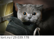 Купить «Frightened purebred cat hid in the wardrobe among the shoes», фото № 29039178, снято 23 мая 2018 г. (c) Георгий Дзюра / Фотобанк Лори