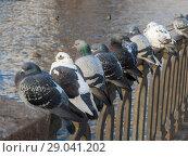 Купить «Pigeons on a fence», фото № 29041202, снято 13 ноября 2012 г. (c) Argument / Фотобанк Лори