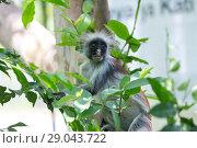 Купить «Red colobus Piliocolobus kirki monkey Zanzibar, Tanzania», фото № 29043722, снято 20 октября 2017 г. (c) Виталий Поздеев / Фотобанк Лори