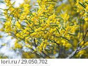 Купить «acacia dodonaefolia flowers», фото № 29050702, снято 21 октября 2018 г. (c) Яков Филимонов / Фотобанк Лори