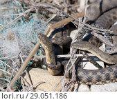 Купить «Каспийский полоз, или желтобрюхий полоз ( Dolichophis caspius) — крупная змея из семейства ужеобразных», фото № 29051186, снято 13 апреля 2017 г. (c) Олег Хархан / Фотобанк Лори