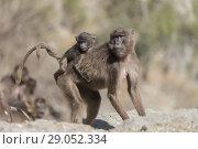 Купить «Africa, Ethiopia, Rift Valley, Debre Libanos, Gelada or Gelada baboon (Theropithecus gelada), adult female with a baby.», фото № 29052334, снято 5 апреля 2017 г. (c) age Fotostock / Фотобанк Лори