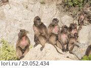 Купить «Africa, Ethiopia, Rift Valley, Debre Libanos, Gelada or Gelada baboon (Theropithecus gelada), group of females with babies.», фото № 29052434, снято 6 апреля 2017 г. (c) age Fotostock / Фотобанк Лори