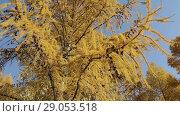 Купить «Желтые ветви сибирской лиственницы в осеннем лесу», видеоролик № 29053518, снято 13 октября 2017 г. (c) Круглов Олег / Фотобанк Лори