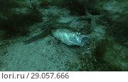 Купить «Spiny Starfish (Marthasterias glacialis) eating dead fish Atlantic cod (Gadus morhua)», видеоролик № 29057666, снято 5 сентября 2018 г. (c) Некрасов Андрей / Фотобанк Лори