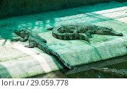 Два зеленый крокодила. Стоковое фото, фотограф Павел Сапожников / Фотобанк Лори