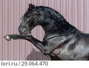 Купить «Портрет вороного испанского жеребца с высоко поднятой передней ногой», фото № 29064470, снято 23 апреля 2018 г. (c) Абрамова Ксения / Фотобанк Лори