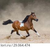 Американская миниатюрная лошадь бежит по песку в пыли. Стоковое фото, фотограф Абрамова Ксения / Фотобанк Лори