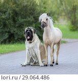 Купить «Американская миниатюрная лошадь и мастифф», фото № 29064486, снято 13 июля 2018 г. (c) Абрамова Ксения / Фотобанк Лори