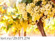 Купить «Ripe bunches of green grapes hanging», фото № 29071274, снято 15 февраля 2019 г. (c) Татьяна Яцевич / Фотобанк Лори