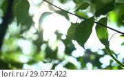 Купить «Camera swaying and changing focus in the shade of trees. Bright warm summer sunny green background with bokeh and glares», видеоролик № 29077422, снято 23 февраля 2019 г. (c) Dmitry Domashenko / Фотобанк Лори